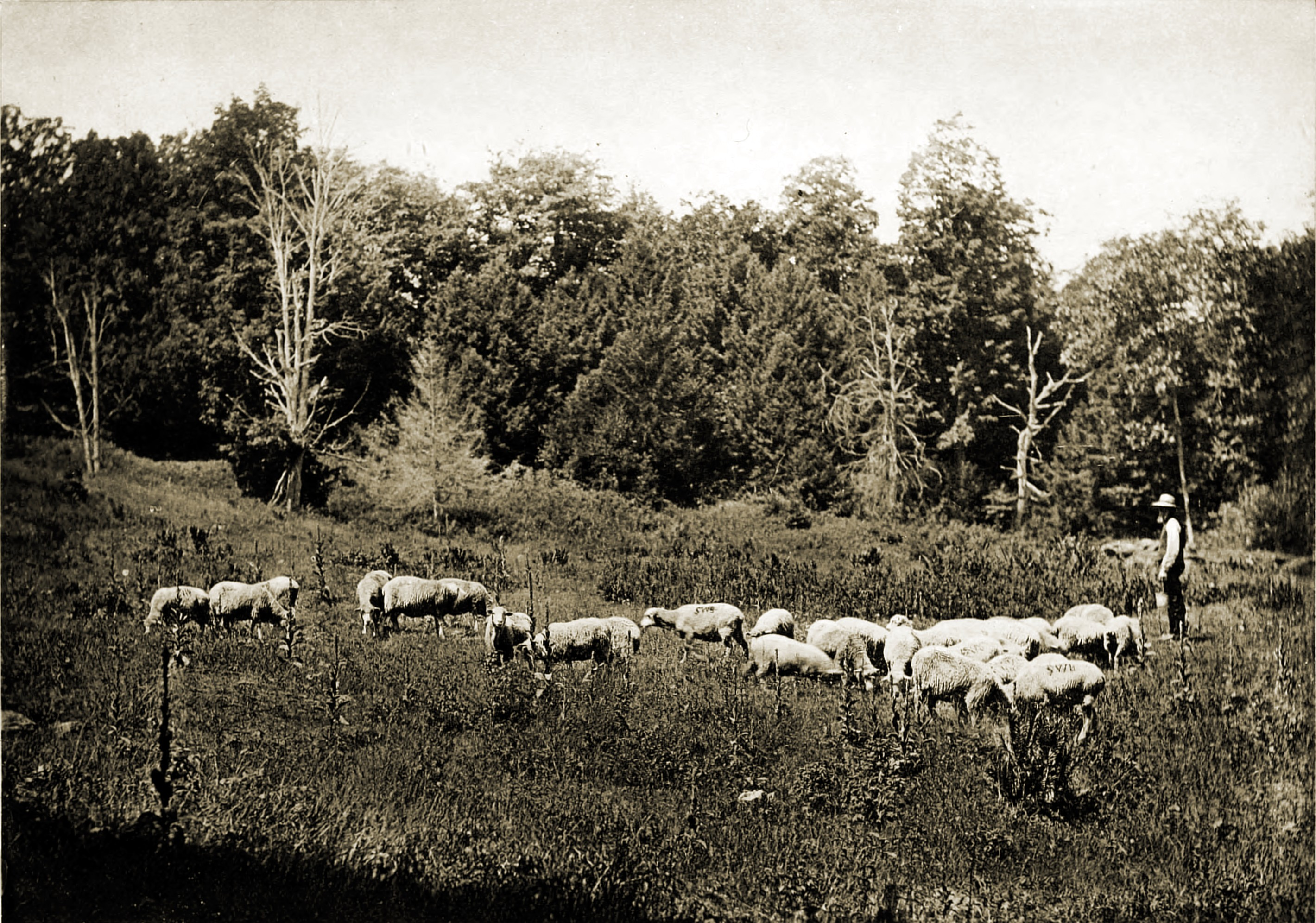 Salting the Sheep by Charles H. Currier 1892