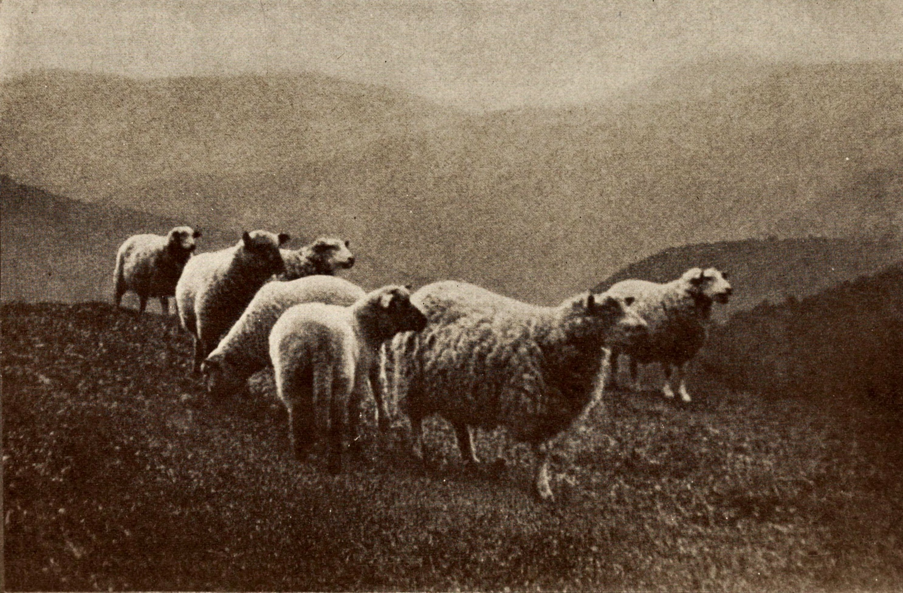 Sheep in the Berkshires by C. R. Phipps about 1923