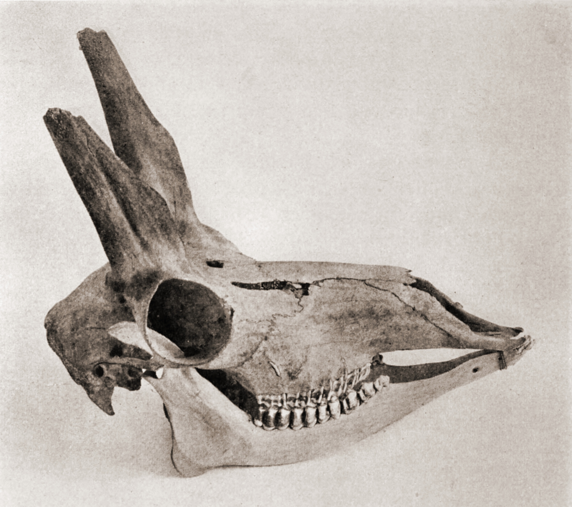 Skull of American antelope by Robert Wilson Shufeldt about 1923