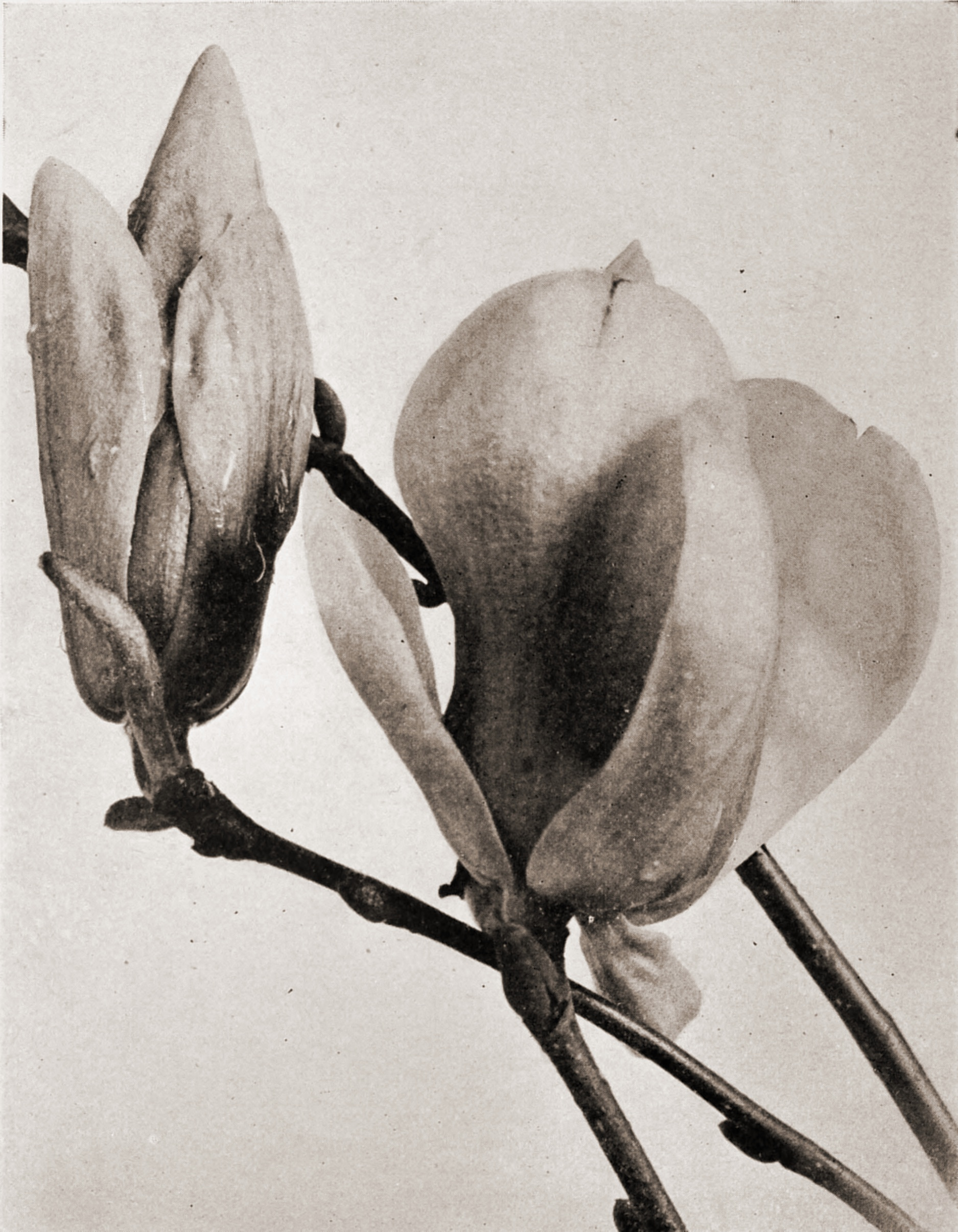 Magnolia Buds by R. W. Shufeldt about 1923