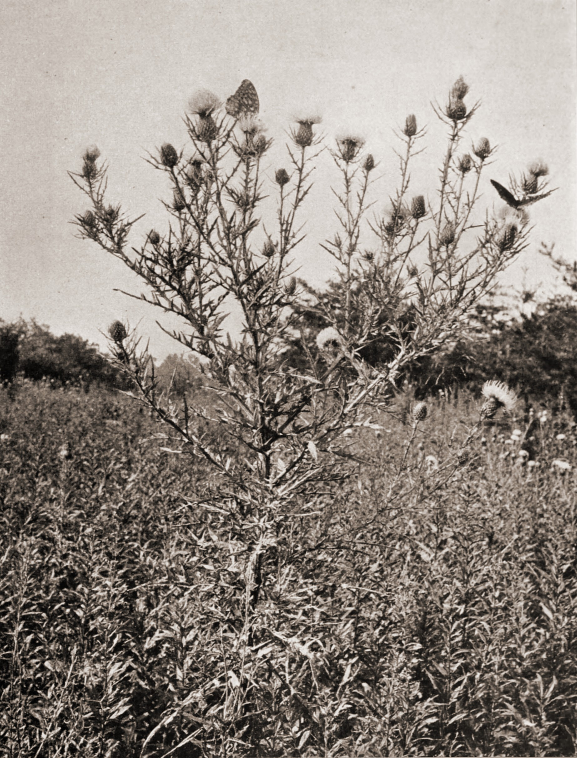 Pasture Thistle by R. W. Shufeldt about 1923