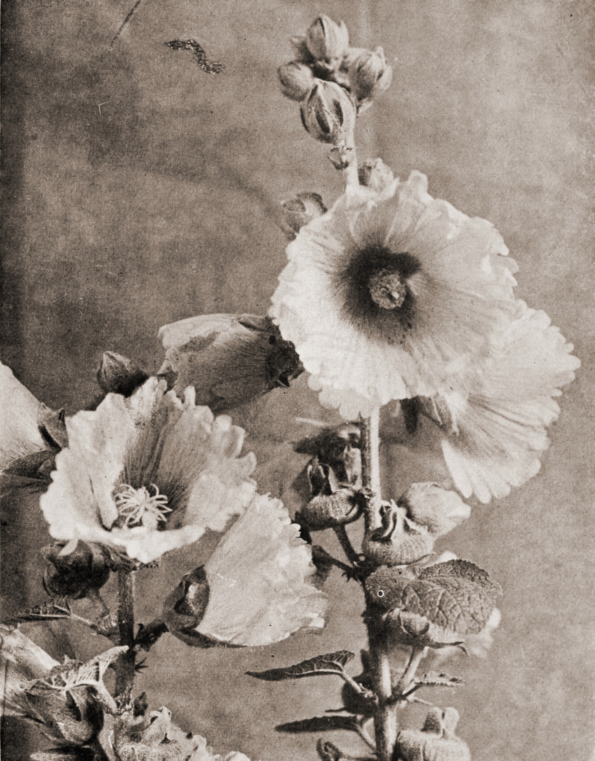 A White Hollyhock by R. W. Shufeldt about 1923